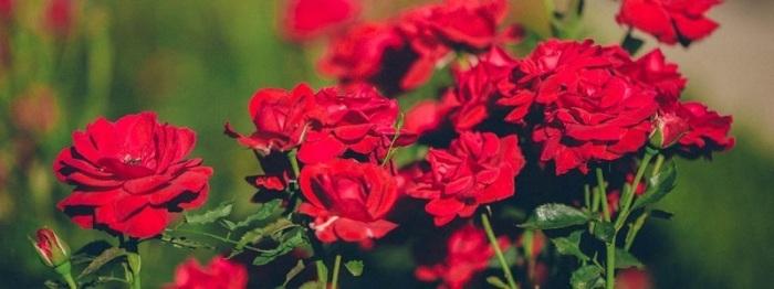growing-roses1